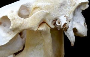 Kaakgewricht paard TMJ