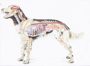 cranio sacraal therapie hond